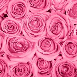 403313583-pink-roses-wallpapers.jpg